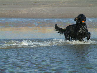 Flat Coated Retriever mit Ball im Meer
