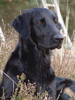 Flat Coated Retriever liegt in der D�ne