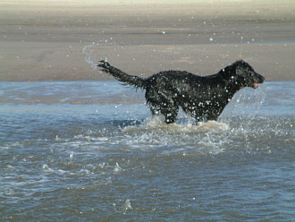Flat Coated Retriever tobt am Strand rum