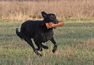 Flat Coated Retriever mit Dummy