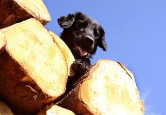 Flat Coated Retriever auf Holzstapel