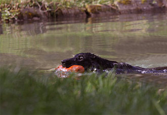 Flat Coated Retriever mit Dummy im Wasser schwimmend