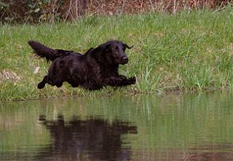 Flat Coated Retriever im Sprung ins Wasser