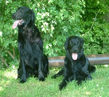 Carlos und Cara Mia, Flat Coated Retriever