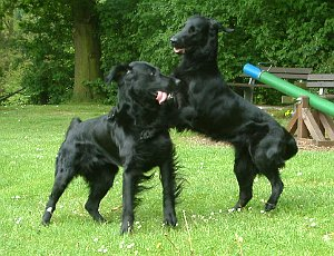 Vorspiel, Flat Coated Retriever